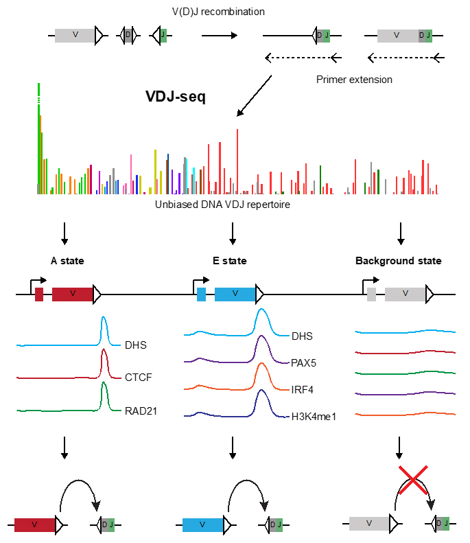 Two mutually exclusive local chromatin states drive Igh recombination