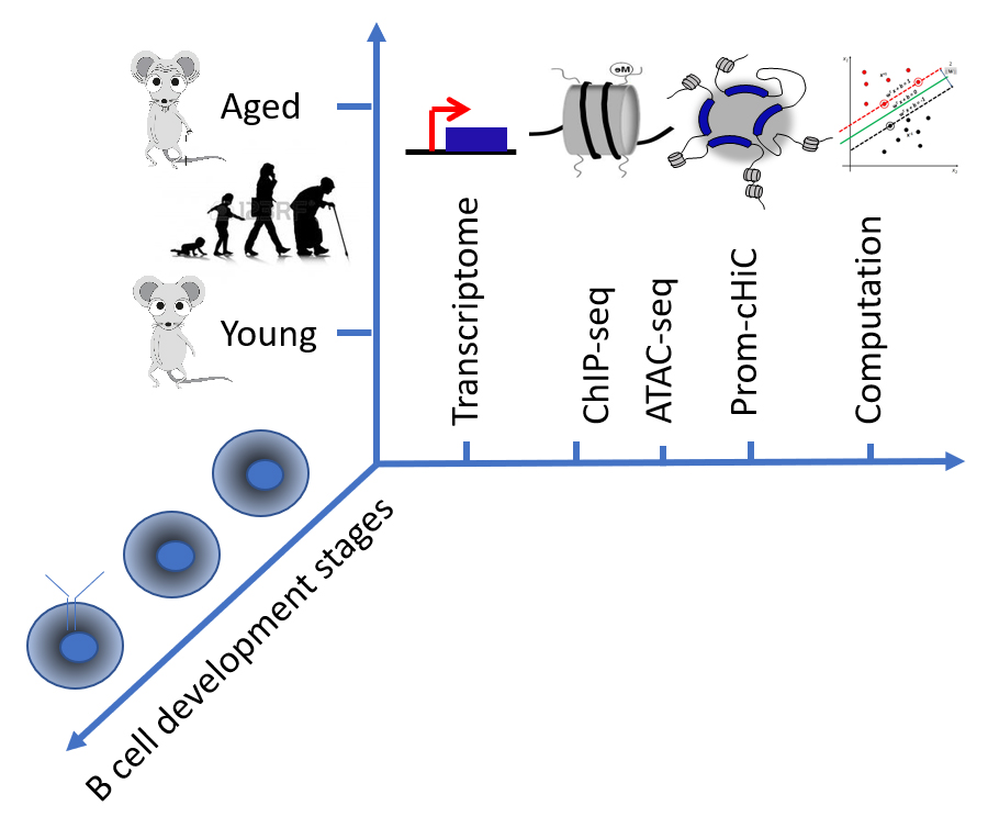 Genome-wide age-associated chromatin changes in mouse B cell progenitors
