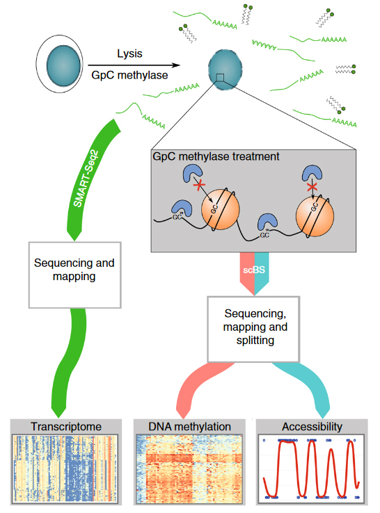 Combined mapping of chromatin, methylation and expression in single oocytes