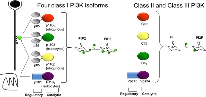 PI3K isoforms