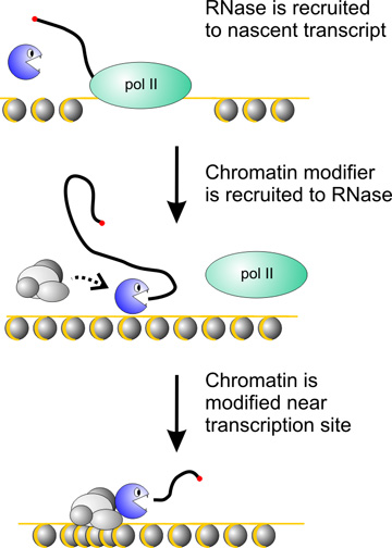 Proposed mechanism for recruitment of chromatin