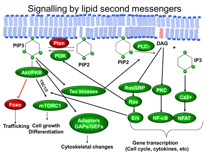 signalling by lipid second messengers